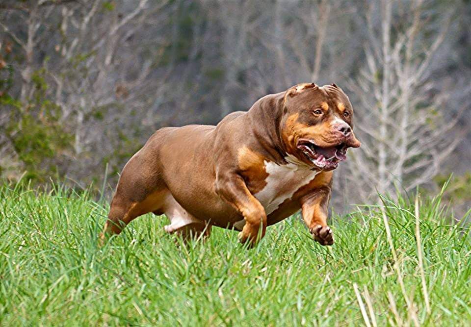 Texas american bully breeder - top american bully bloodlines in USA