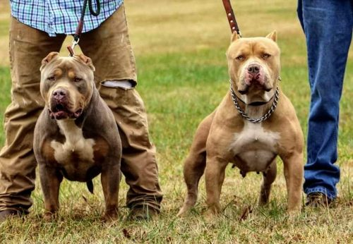 Texas american bully breeder - top american bully bloodlines